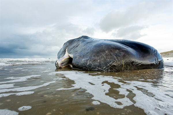 Twenty-Nine Sperm Whales Found Dead