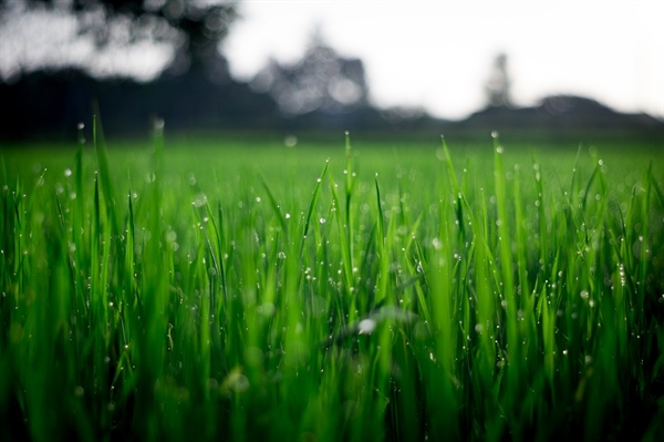 The Environmental Impact of Lawns