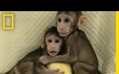 The First Monkey Clones